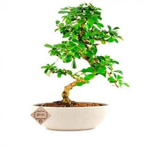 Carmona Bonsai Plant 3 Years Old