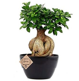 Ficus Bonsai Plant 5 Years Old