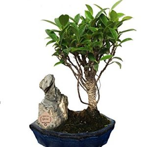 Ficus Long Island Bonsai Live Plant
