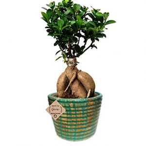 Ginseng Grafted Ficus Bonsai Live Plants 3 Years Old with Ceramic Pot