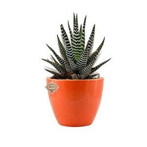 "Succulent ""Haworthia Attenuata"" Zebra Plant with Bright Red Ceramic pot"
