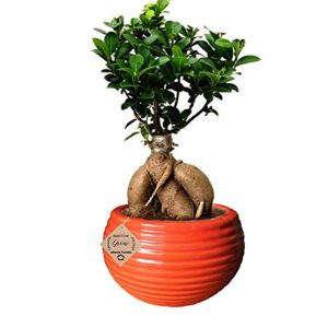 Ginseng Ficus Bonsai 4 Year Old