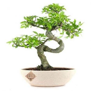 Chinese Elm Bonsai Tree 8 Years x 30cm