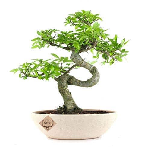 Ulmus Bonsai Tree 8 Yrs 30cm