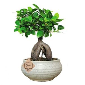 Ginseng Ficus Bonsai Live Plants (Grafted) x 8 Years Old