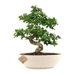Carmona Bonsai Tree (9 Yrs Old) x 35cm