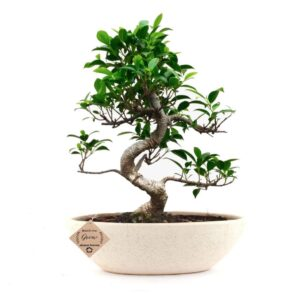 Ficus Bonsai Plant in Ceramic Pot 9 Years