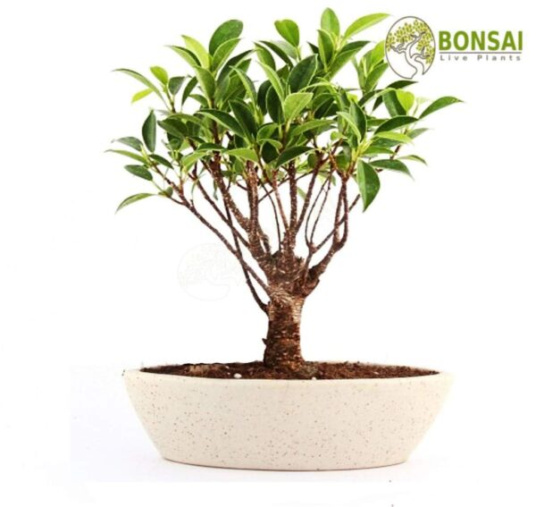 """I Shape"" Ficus Bonsai 4 Years"