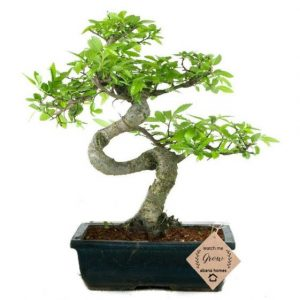 Exotic Chinese Elm Bonsai Plants 8 Yrs 30cm