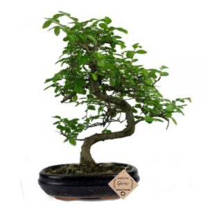 Chinese Elm Bonsai Plants for Home in Ceramic Pot
