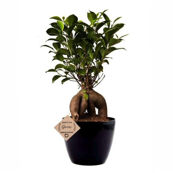 Grafted Ficus Indoor Bonsai Plants Live 4 Years