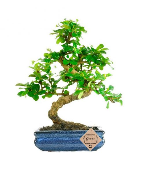 Carmona Bonsai Plants
