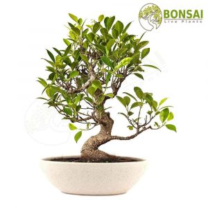 Bonsai Pot White Ceramic Dew