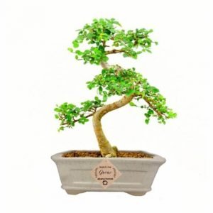 Chinese Elm Bonsai Tree 4 Years x 25cm