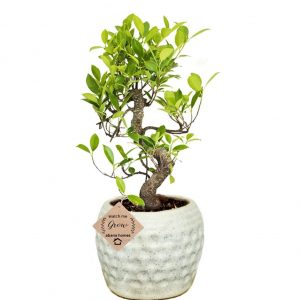 Ficus Bonsai Plant in Round Ceramic Pot 5 Years