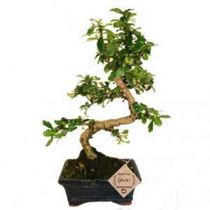 Carmona Bonsai Plant (3 Yrs Old) x 15cm