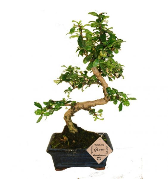 Carmona Bonsai Plant (4 Yrs Old) x20cm