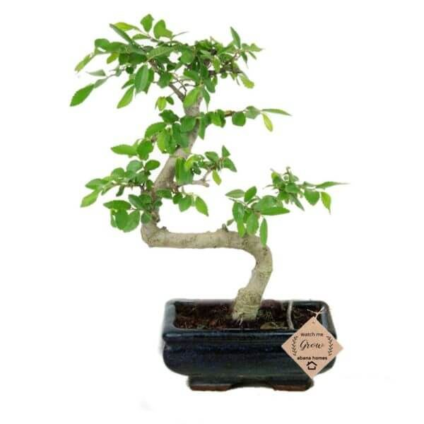 Chinese Elm S Shaped Outdoor Bonsai Live Plants 4 Years