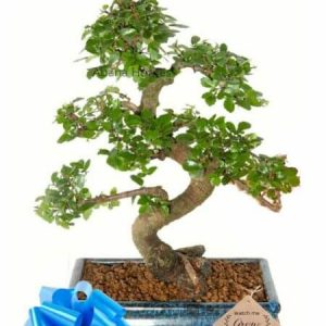 Chinese Elm Bonsai Tree 7 Years x 30cm