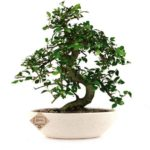 Chinese Elm Bonsai Plant 4 Years x 25cm ( In Ceramic Pot)