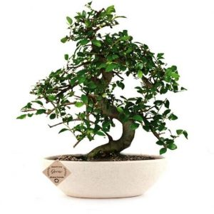 Chinese Elm Bonsai 5 Years x 25cm  In Ceramic Pot