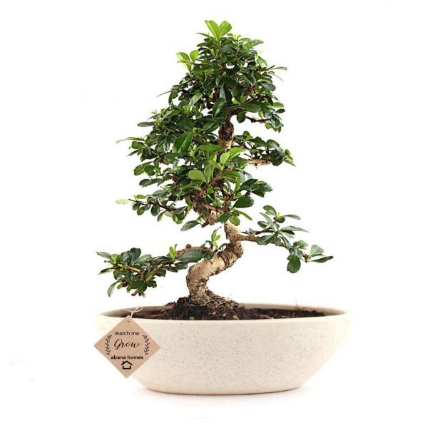 Carmona Indoor Flowering Bonsai Tree 5 Yrs