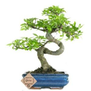 Beautiful Chinese Elm Bonsai in Pot | 8 Years Old