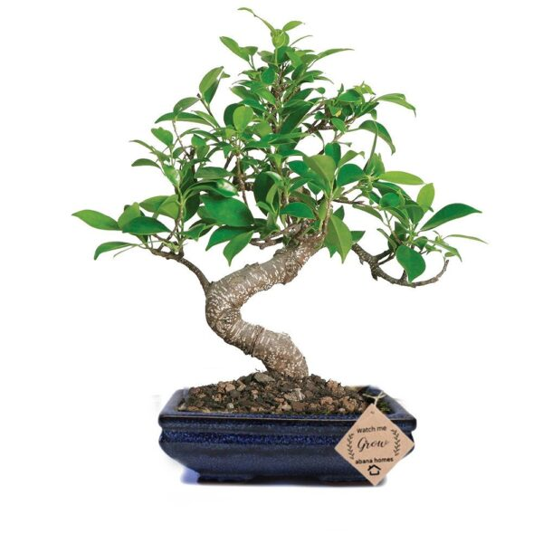Ficus Bonsai Plant in Ceramic Pot 6 Years (Blue)