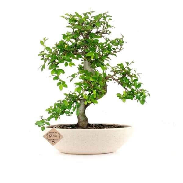 Chinese Elm Bonsai Plant 7 Years x 30cm
