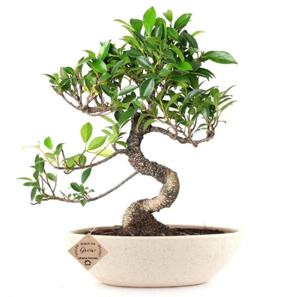 Ficus Bonsai Plant in Ceramic Pot 4 Years (Blue)