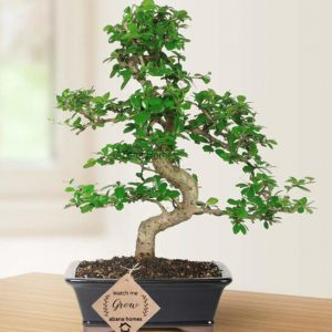 Glorious Carmona Bonsai Plant 8 Years Old x 30 cm