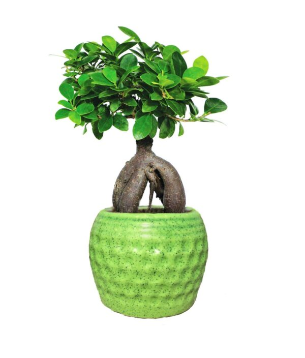 Ficus Bonsai Plant (Grafted Ginseng) Indoor Plants