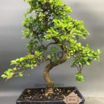 Chinese Elm Bonsai Plant 4 Years x 25cm (in Clay Pot)