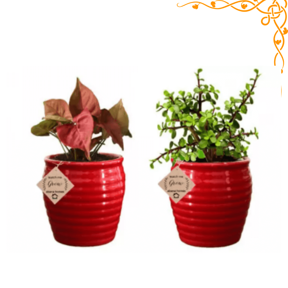 Air Purifying Plants Pink Syngonium & Jade