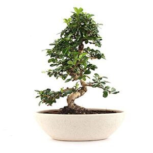Indoor Plants Carmona Bonsai Tree 5 Yrs