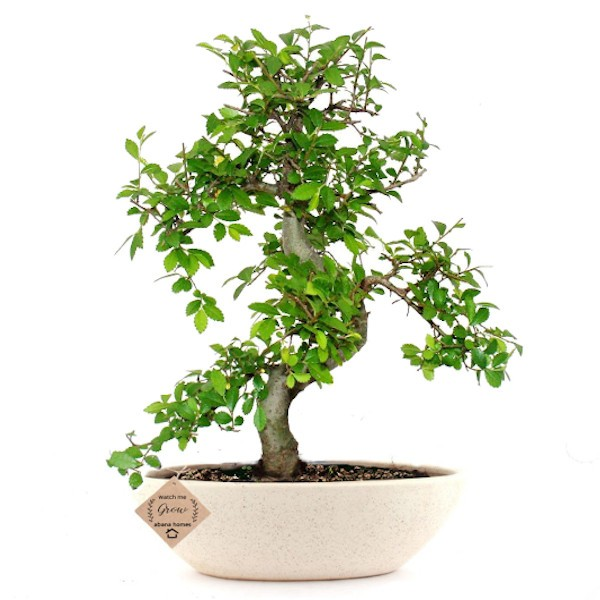 Ulmus Bonsai Tree 7 Yrs 30cm