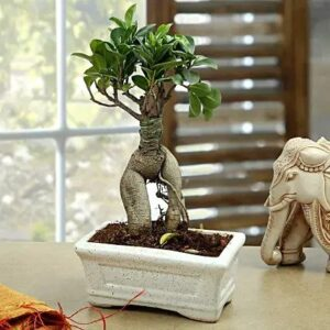 Ficus Bonsai (Grafted Ginseng) Indoor Plants