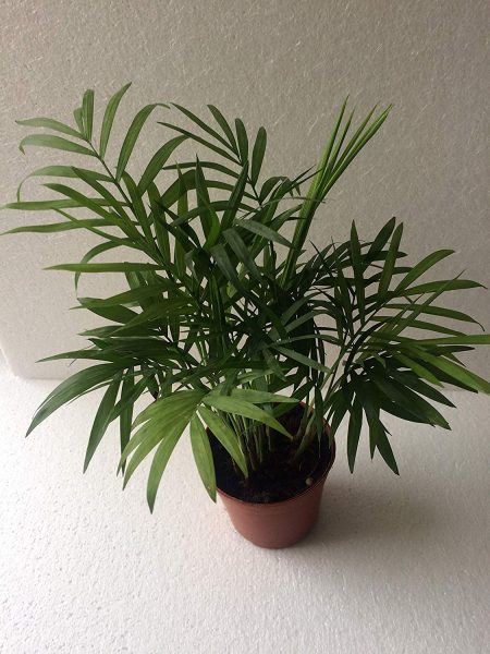 Chamaedorea Mini Palm