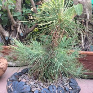Black Pine Bonsai Plant – 7 Year old