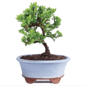 Juniper Bonsai  Plants