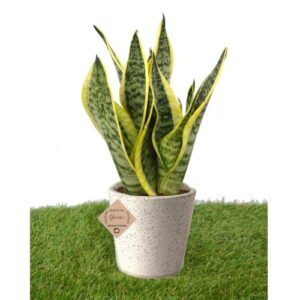Sansevieria (Snake) Plant 3 in 1 with Beautiful Ceramic Pot