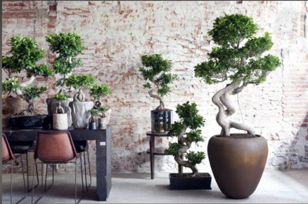 Stylish Multi Curved Ficus Bonsai Plant (50cms - 60cms)