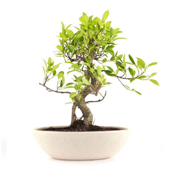 S Shape Ficus Bonsai -20 cm – 4 Year old