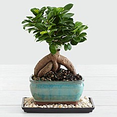 Ficus Bonsai Plants