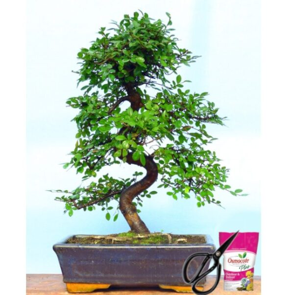 Ulmus Bonsai Tree – 12 Year Old – 35-40 cm