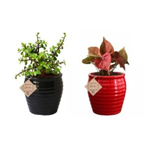 Air Purifying Plants Combo of Black Jade & Red Syngonium Mini Indoor Plant with Pot