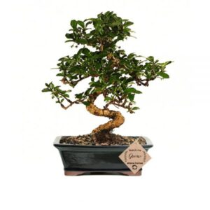 Carmona Bonsai Plant 7 Years Old x 25cm