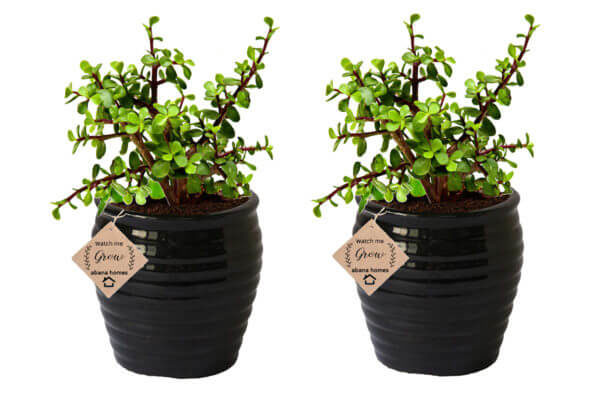 Good Luck Jade Plant in Beautiful Black Pot (Combo of 2)