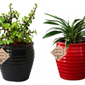 Air Purifying Plants Combo of Red Spider & Black Jade Indoor Plant with Pot