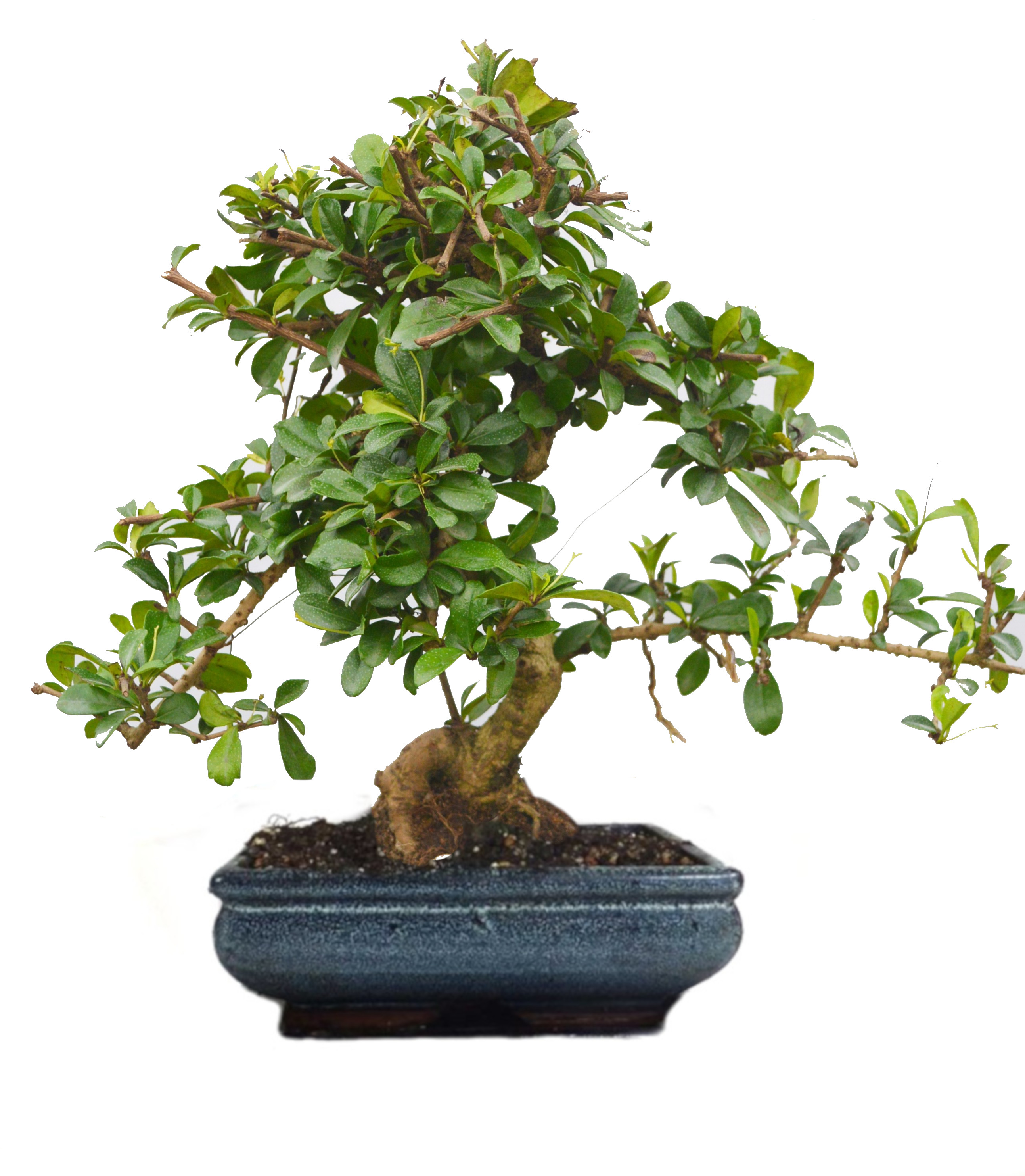 Carmona Bonsai Plant in Ceramic Pot – 9 Yrs Old